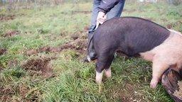 Как выпрямить хвост у свиньи смотреть видео прикол - 0:52
