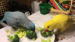 Смотреть Попугай добивается даму