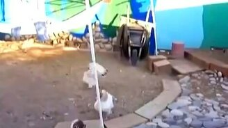 Курицы разнимают кроликов