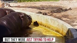 Смотреть Бегемоты помогли утенку выбраться из бассейна
