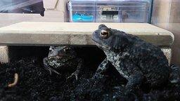 Смотреть Кормление домашних жаб