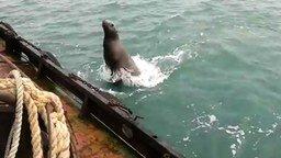 Морской лев-захватчик смотреть видео прикол - 0:38