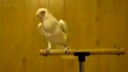 Попугаичий танец смотреть видео прикол - 2:36