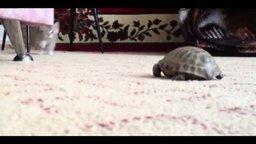 Котёнок против черепахи смотреть видео прикол - 1:46