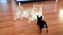 Собачонка против кота-гиганта смотреть видео прикол - 1:37