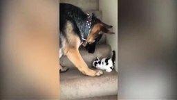 Овчарка и котёнок смотреть видео прикол - 0:44