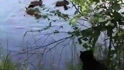 Кот-охотник и утки смотреть видео прикол - 0:33