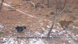 Догонялки тигра и козла смотреть видео прикол - 1:26