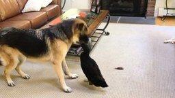 Смотреть Утка терроризирует овчарку