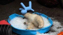 Смотреть Белый медвежонок купается во льду