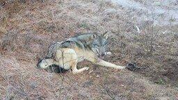 Смотреть Спасение волка из капкана