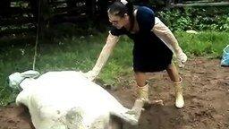 Смотреть Дотронулась до рожающей коровы
