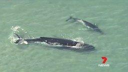 Смотреть Самка кита застряла на мелководье