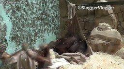 Смотреть Орангутаны и гамак