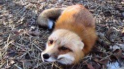 Смотреть Дружелюбная игривая лиса