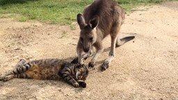 Смотреть Кенгурёнок и кот