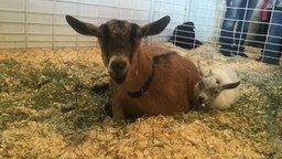 Смотреть Воссоединение козы и козлёнка