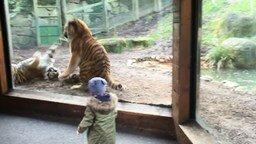 Смотреть Бой тигров в вольере
