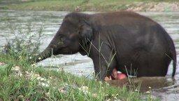 Смотреть Слон бросился на помощь тонущему человеку