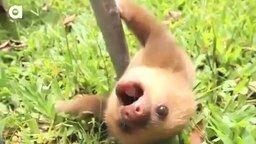 Смотреть Ленивцы общаются