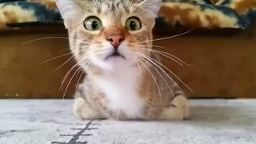 Смотреть Кот следит за игрушкой