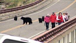 Смотреть Медведи гоняют туристов