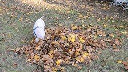 Смотреть Поросёнок в осенних листьях