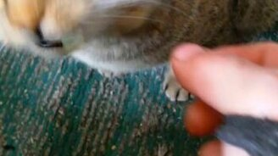 Смотреть Котяра ест лук
