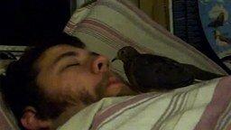 Смотреть Птица чистит нос хозяину