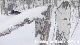 Кабаны и охотник смотреть видео прикол - 0:42