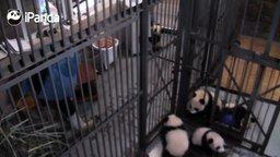Смотреть Панды сводят с ума няньку