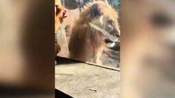 Львы против ребёнка-львёнка смотреть видео прикол - 1:38