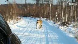 Смотреть Встретили тигра по дороге в деревню