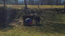 Смотреть Бычок против игрушки мяча