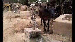Смотреть Корова добывает себе воду
