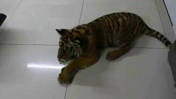 Смотреть Тигр знакомится с собакой