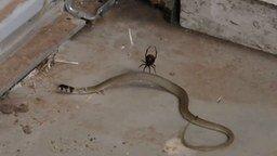 Смотреть Паук поймал змею