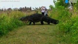 Аллигатор-гигант смотреть видео прикол - 0:36
