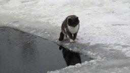 Смотреть Кот поймал рыбу в проруби