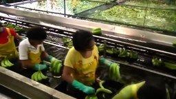 Смотреть Как выращивают бананы