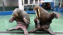 Весёлый танец моржей