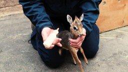 Смотреть Кормёжка малыша антилопы