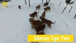 Смотреть Тигры против дрона