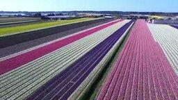 Смотреть Цветение тюльпанов с высоты