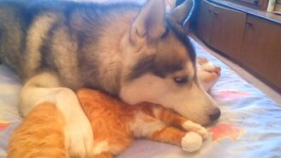 Смотреть Дружба кошки и хаски