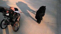 Смотреть Собака тянет коляску