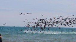 Смотреть Массовая охота пеликанов