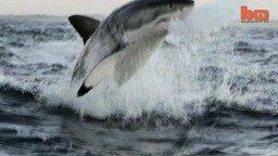 Белая акула в полёте смотреть видео - 2:42