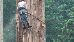 Смотреть Как рубят большое дерево в Японии