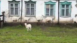 Смотреть Как козы прячутся от дождя